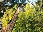 Жираф на фоне лиственного дерева, фото № 170147, снято 23 сентября 2006 г. (c) Наталья Ярошенко / Фотобанк Лори