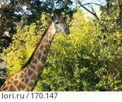 Купить «Жираф на фоне лиственного дерева», фото № 170147, снято 23 сентября 2006 г. (c) Наталья Ярошенко / Фотобанк Лори