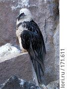 Купить «Бородач (ягнятник)», фото № 171611, снято 1 января 2008 г. (c) Александр Чураков / Фотобанк Лори