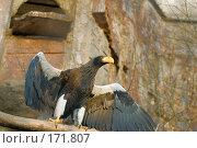 Купить «Орел с желтым клювоми раскрытыми крыльями», фото № 171807, снято 1 января 2008 г. (c) Александр Чураков / Фотобанк Лори