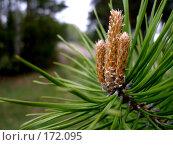 Купить «Сосновый цветок», фото № 172095, снято 19 мая 2007 г. (c) Кондратьев Игорь Витальевич / Фотобанк Лори