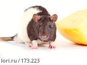 Купить «Крыса с сыром», фото № 173223, снято 29 ноября 2007 г. (c) Фёдорова Эллина / Фотобанк Лори