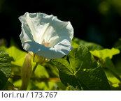 Купить «Цветок вьюнка, подсвеченный утренним солнцем», фото № 173767, снято 15 июля 2007 г. (c) Петухов Геннадий / Фотобанк Лори