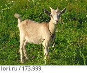 Купить «Молодой козленок на лугу», фото № 173999, снято 12 августа 2007 г. (c) Петрова Ольга / Фотобанк Лори