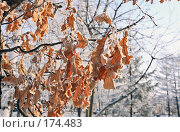 Купить «Заиндевевшая листва дуба на фоне заснеженных деревьев», фото № 174483, снято 12 января 2008 г. (c) Круглов Олег / Фотобанк Лори