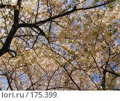 Купить «Цветущая сакура на фоне голубого неба Sakura in blossom», фото № 175399, снято 3 апреля 2007 г. (c) Serg Zastavkin / Фотобанк Лори