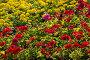 Цветочная клумба. Красная пеларгония и желтые бархатцы, фото № 176171, снято 23 июня 2007 г. (c) Петухов Геннадий / Фотобанк Лори