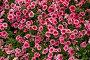 Много розовых цветков петунии, фото № 176235, снято 30 июня 2007 г. (c) Петухов Геннадий / Фотобанк Лори