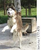 Купить «Маламут в собачьем вольере», фото № 177479, снято 30 августа 2007 г. (c) Татьяна Высоцких / Фотобанк Лори