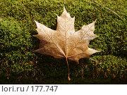 Купить «Лист клена на мху», фото № 177747, снято 23 сентября 2018 г. (c) Антон Тарасов / Фотобанк Лори