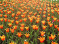 Красно-желтые тюльпаны, фото № 178719, снято 7 января 2005 г. (c) Карасева Екатерина Олеговна / Фотобанк Лори