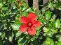 Красный цветок с пятью лепестками, фото № 179079, снято 29 июля 2006 г. (c) Ирина Андреева / Фотобанк Лори