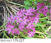 Купить «Лук Островского - Allium ostrowskianum», фото № 179227, снято 7 июля 2007 г. (c) Беляева Наталья / Фотобанк Лори