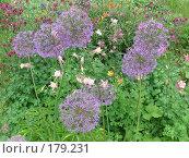 Купить «Лук афлатунский - Allium aflatunense», фото № 179231, снято 24 июня 2006 г. (c) Беляева Наталья / Фотобанк Лори