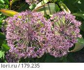Купить «Лук каратавский - Allium karataviense», фото № 179235, снято 22 июня 2006 г. (c) Беляева Наталья / Фотобанк Лори