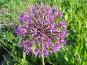 Лук Розенбаха - Allium rosenbachianum, фото № 179239, снято 22 июня 2006 г. (c) Беляева Наталья / Фотобанк Лори