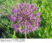 Купить «Лук Розенбаха - Allium rosenbachianum», фото № 179239, снято 22 июня 2006 г. (c) Беляева Наталья / Фотобанк Лори