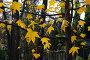 Осенние звезды. Желтые листья клена., фото № 181711, снято 15 октября 2006 г. (c) Константин Бредников / Фотобанк Лори