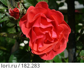 Купить «Красная роза», фото № 182283, снято 27 мая 2007 г. (c) Наталья Ярошенко / Фотобанк Лори