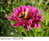 Обед. Бабочка и пчела на цветке. Стоковое фото, фотограф Ирина Гусева / Фотобанк Лори