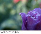 Купить «Крошечный паук ползет по лепестку тюльпана», фото № 184687, снято 20 мая 2007 г. (c) Прозоровский Георгий / Фотобанк Лори