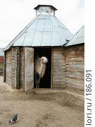 Купить «Верблюд в зоопарке», фото № 186091, снято 26 июля 2007 г. (c) Галина Лукьяненко / Фотобанк Лори