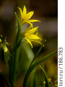 Купить «Цветок Гагеи или Гусиного лука - Gagea lutea», фото № 186783, снято 29 апреля 2006 г. (c) Абрамова Ксения / Фотобанк Лори