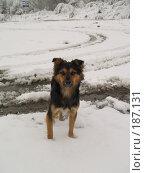 Купить «Одинокая дворняжка на снегу», фото № 187131, снято 20 октября 2007 г. (c) Антон Самбуров / Фотобанк Лори