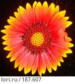 Купить «Цветок солнца», фото № 187607, снято 9 июля 2007 г. (c) Александр Бербасов / Фотобанк Лори