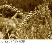 Купить «Пшеничные колосья. Сепия.», фото № 187639, снято 11 июля 2007 г. (c) Петрова Ольга / Фотобанк Лори