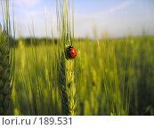Купить «Божья коровка на зеленом колоске пшеницы», фото № 189531, снято 3 июня 2006 г. (c) Dmitriy Andrushchenko / Фотобанк Лори