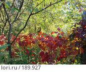 Купить «Дикий виноград ранней осенью», фото № 189927, снято 1 апреля 2007 г. (c) Елена Кретова / Фотобанк Лори