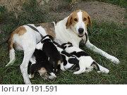 Купить «Охотничья собака кормит щенков», фото № 191591, снято 12 августа 2007 г. (c) Антон Тарасов / Фотобанк Лори