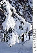 Купить «Еловая ветвь, запорошенная снегом», фото № 193803, снято 4 февраля 2008 г. (c) Светлана Силецкая / Фотобанк Лори