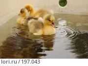 Гусята в ванной. Стоковое фото, фотограф Лукьянов Иван / Фотобанк Лори