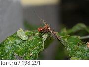 Купить «Стрекоза после дождя», фото № 198291, снято 4 августа 2007 г. (c) Мария Малиновская / Фотобанк Лори