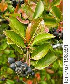 Купить «Черноплодная рябина», фото № 198691, снято 5 сентября 2007 г. (c) Светлана Силецкая / Фотобанк Лори