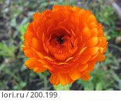 Купить «Календула Оранжевый король - Calendula», фото № 200199, снято 9 сентября 2007 г. (c) Беляева Наталья / Фотобанк Лори
