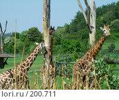 Купить «Пражский зоопарк .Жирафы», фото № 200711, снято 9 мая 2006 г. (c) Светлана Шушпанова / Фотобанк Лори