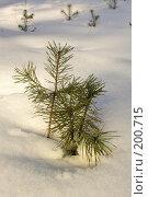 Купить «Маленькая сосна в снегу», фото № 200715, снято 3 февраля 2008 г. (c) Сергей Самсонов / Фотобанк Лори