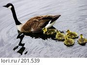 Купить «Семейство водоплавающих птиц», фото № 201539, снято 31 мая 2006 г. (c) Никонова Марина / Фотобанк Лори
