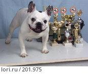 Купить «Собака французский бульдог», фото № 201975, снято 31 марта 2004 г. (c) Федор Королевский / Фотобанк Лори