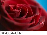 Купить «Красная роза с капелькой», фото № 202447, снято 20 сентября 2007 г. (c) Григорий Сухарев / Фотобанк Лори
