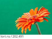 Купить «Гербера с капелькой», фото № 202491, снято 26 ноября 2006 г. (c) Григорий Сухарев / Фотобанк Лори