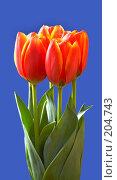 Купить «Тюльпаны», фото № 204743, снято 8 марта 2007 г. (c) Григорий Сухарев / Фотобанк Лори