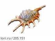 Купить «Морская ракушка на белом фоне», эксклюзивное фото № 205151, снято 8 февраля 2008 г. (c) Алёшина Оксана / Фотобанк Лори