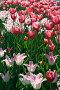 Розовые тюльпаны, фото № 207823, снято 20 мая 2007 г. (c) Ольга Красавина / Фотобанк Лори