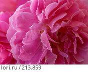 "Купить «Роза ""Mary Rose""», фото № 213859, снято 26 августа 2007 г. (c) Liseykina / Фотобанк Лори"
