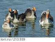 Купить «Гуси на озере», фото № 213939, снято 22 августа 2007 г. (c) Dmitriy Andrushchenko / Фотобанк Лори