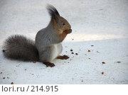 Купить «Белка грызет орехи», фото № 214915, снято 13 января 2008 г. (c) Golden_Tulip / Фотобанк Лори
